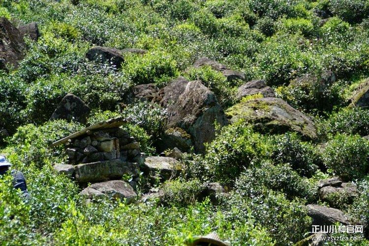 桐木关独特的茶叶生长环境
